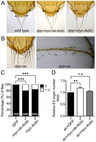 Fig. 6. Nuclear actin enhances proneural protein-mediated ES organ formation.