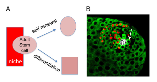 Fig2. Adult stem cells in the Drosophila male germline.