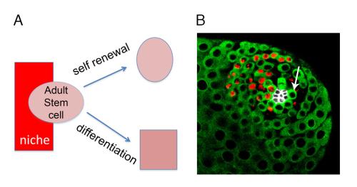 Fig2. Adult stem cells in the Drosophila male germline.
