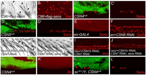 Figure 2. The CSN suppresses Sens to inhibit neural differentiation of PWM bristles.