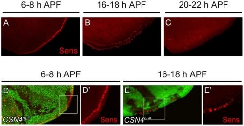 Figure 5. Temporal regulation of Sens expression by CSN4.